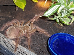 theraphosa blondi